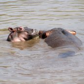 170215-hippopotamus-day-6
