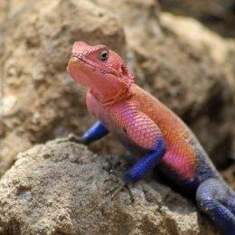 170302-male-agama-lizard-3