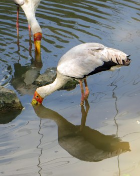 170309-yellow-billed-stork-3