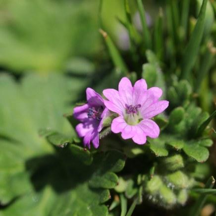 170423 wildflowers in Barry (1)