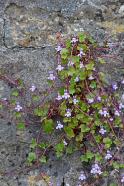 170427 Ivy-leaved toadflax (1)
