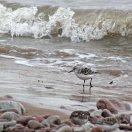 170501 sanderling (3)