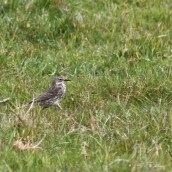 170521 6 Seaford Head Rock pipit