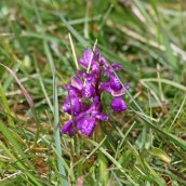170521 9 Seaford Head Green-winged orchid