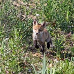 170527 Red fox cub (5)