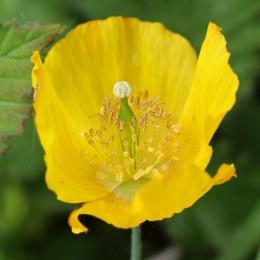170528 Welsh poppy