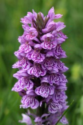 170607 Southern marsh-orchid (5)