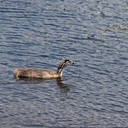170612 Baby Great crested grebe