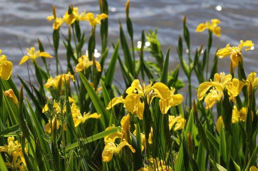 170616 Yellow iris (2)