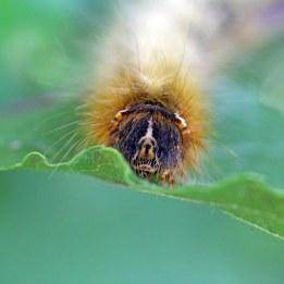 170620 Oak eggar larva (3)