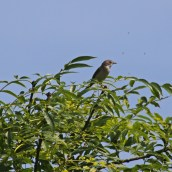 170625 Whitethroat
