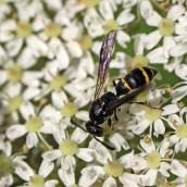 170630 7 Willow mason-wasp