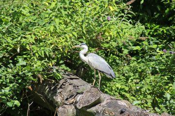 170709 Grey heron (1)