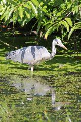 170709 Grey heron (2)