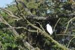 170709 Little egrets (1)