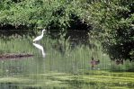 170709 Little egrets (5)