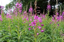 170714 Rosebay willowherb (7)