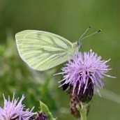 170717 Green-veined white