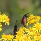 170722 6-spot Burnet moth (11)