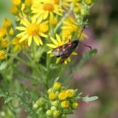 170722 6-spot Burnet moth (5)