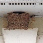 170723 House martin nest (6)