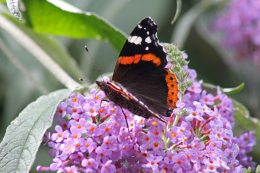 170724 Buddleja & butterfly (8)