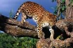 amur leopard 150x100 Earthtalk Q&A