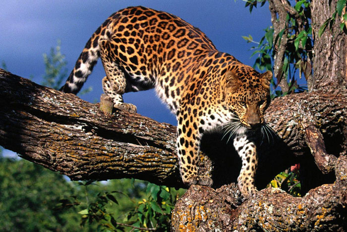 amur leopard 700x467 EarthTalk: Questions & Answers About Our Environment