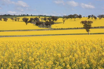 Most canola oil available in U.S. supermarkets today is grown from genetically engineered rapeseed. Credit: Jan Smith, Flickr CC