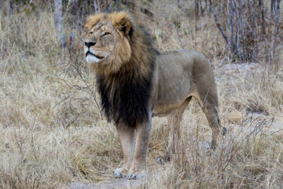 trophy hunting poster boy Cecil the Lion