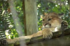 cougar 700x467 225x150 EarthTalk: Questions & Answers About Our Environment