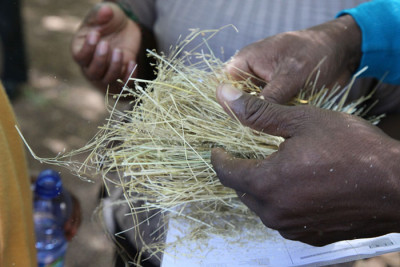Researchers are working to develop crops resistant to climate change effects. Credit: CGIAR Research Program on Climate Change, Agriculture & Food Security