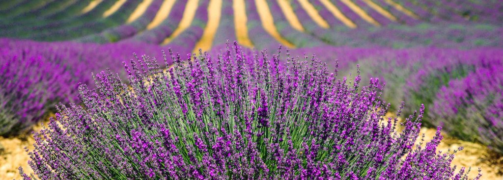 Picture of a field of lavender growing.