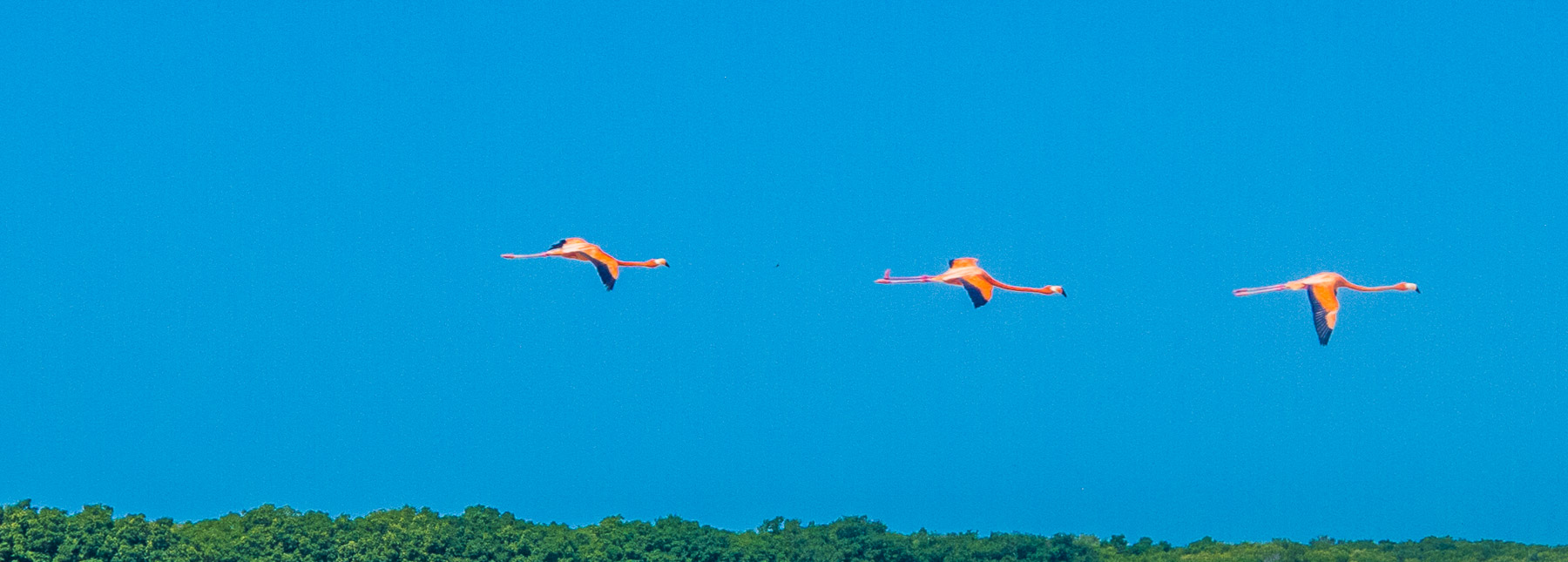 Three flamingos flying.