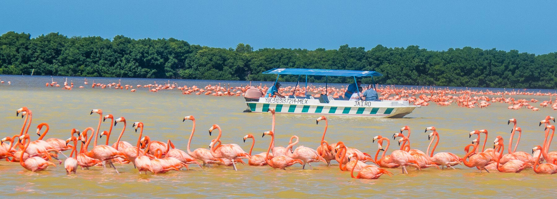 Hundreds of flamingos in Celestún.