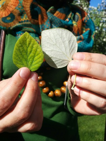 Tanya Quist, director of the Campus Arboretum, illustrates the top and bottom sides of white poplar leaves. (Photograph by Annabelle Baggs)