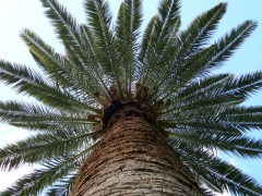 The palm tree is one of many trees and plants from around the world that comprise the University of Arizona Campus Arboretum, which is the oldest continually maintained green space in Arizona. (Photograph by Jorge Encinas)