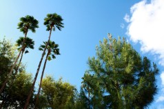 Palm trees soar next to an Afghan pine tree on the University of Arizona Campus. The desert pines were chosen as a replacement for cedar trees, whose lives were cut short by drought. (Photo by Rachel Wehr)