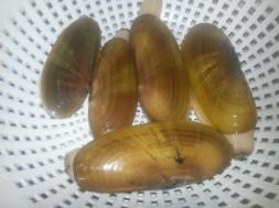 Razor clams - 2015