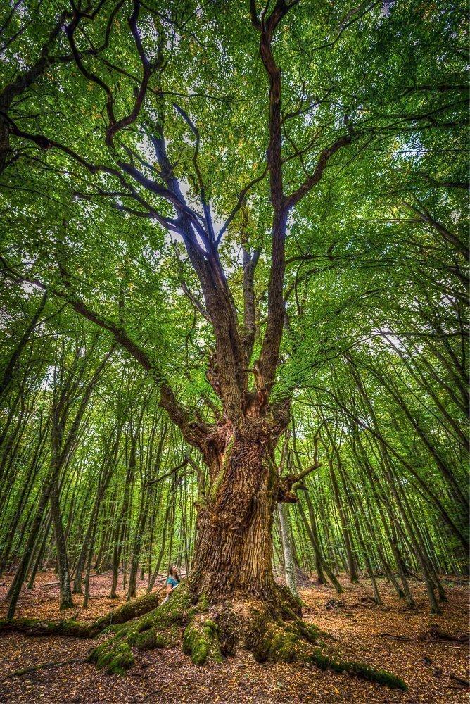 1000 Year Old Oak