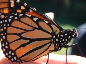 Monarch in hand at Raccoon Fall07