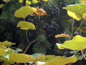 Wild Concord Grapes