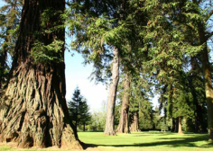 Cedar trees in the park © Bowood Estate