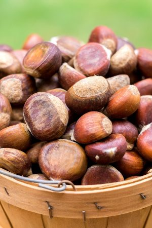 Fresh Midwestern Chestnuts