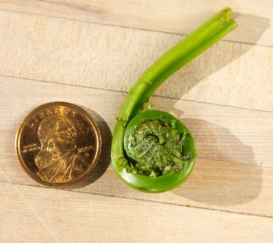 Fiddlehead and coin