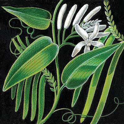 Vanilla by David McCall Johnston