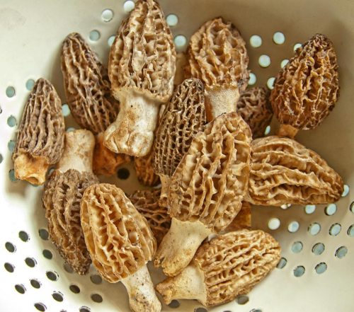 Fresh Western White Morel Mushrooms
