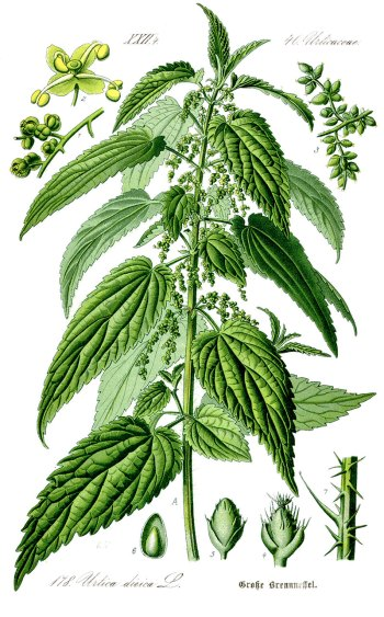 Stinging nettles (Urtica diocia) Botanical Illustration 1885