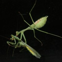 Nature Watch NZ - The Praying Mantis