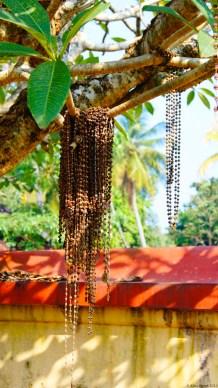 Rudraksha offerings to the Rudraksha tree